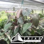 10-in-philodendron-pink-princess-hb