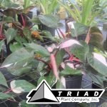 10-in-philodendron-pink-princess-pot