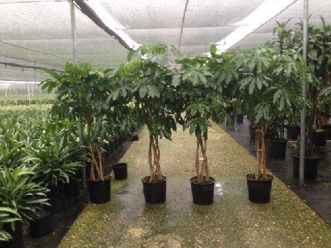 Schefflera Triad Plant Company Inc