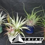 2inchtillandsia-ceramic-garden