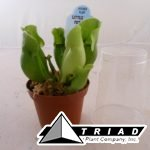 3-inch-pitcher-plant