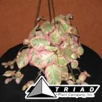 5-inch-episcia-pink-dreams