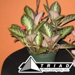 5-inch-episcia-chocolate-soldier