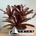 6-in-holy-clay-pot-neoregelia-fireball