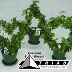 6-inch-ivy-topiaries-assorted