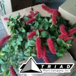 acalypha-chenille