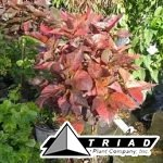 acalypha-standard-multi-color