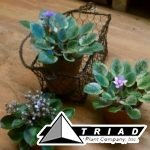 african-violet-mini