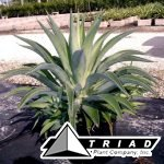 agave-lurida-green