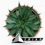 agave-funkiana-fatal-attraction