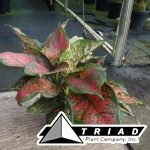 aglaonema-red-valentine