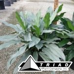 aglaonema-sterling