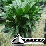 aglaonema-tigress