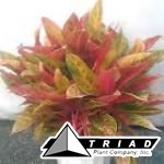 aglaonema-tropical-passion