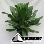 aglaonema-b-j-freeman