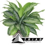 aglaonema-crystal-bay