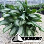 aglaonema-diamond-bay