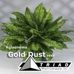 aglaonema-gold-dust