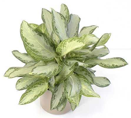 Aglaonema Triad Plant Company Inc