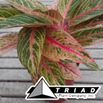 aglaonema-golden-passion-jpg