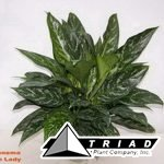 aglaonema-green-lady