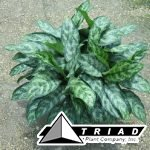 aglaonema-indo-princess