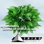 aglaonema-jewel-of-india