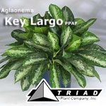 aglaonema-key-largo