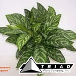 aglaonema-mary-ann