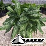 aglaonema-moonlight-bay