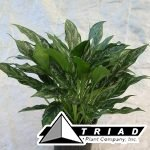 aglaonema-shades