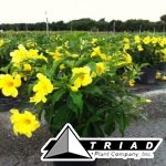 allamanda-golden-butterfly