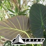 alocasia-regal-shields