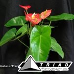 anthurium-prince-of-hearts