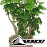 aralia-balfour-stump-10-inch