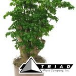 aralia-roble-stump-10-inch