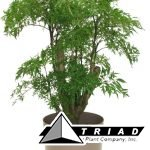 aralia-ming-stump-10-inch