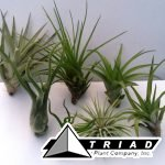assorted-tillandsia-small