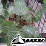 begonia-stawberry-variegated