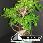 bonsai-starts-ficus-retusa-import