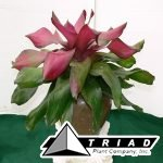 bromeliad-neoregelia-royal-flush