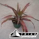 bromeliad-red-pineapple