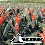 bromeliad-aechmea-black-chantinii