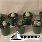 cactus-lithops-2-inch1