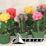 cactus-grafted-colortop-4-inch
