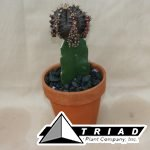 cactus-grafted-colortop-in-clay-4-inch