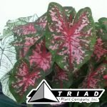 caladium-carolyn-whorton
