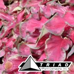 caladium-red-frill