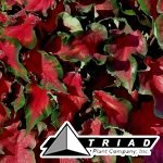 caladium-red-ruffles