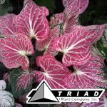 caladium-thai-beauty